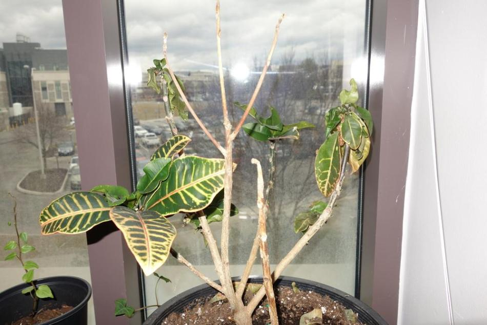 20180127I Codiaeum variegatum garden.org.jpg