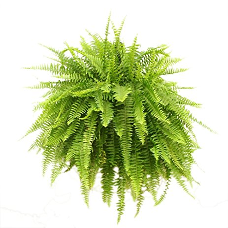 20180127K Nephrolepis exalatat www.amazon.com