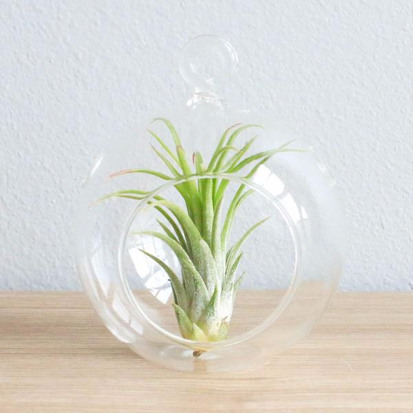 20180128U Air plant cdn.shopify.com.jpg