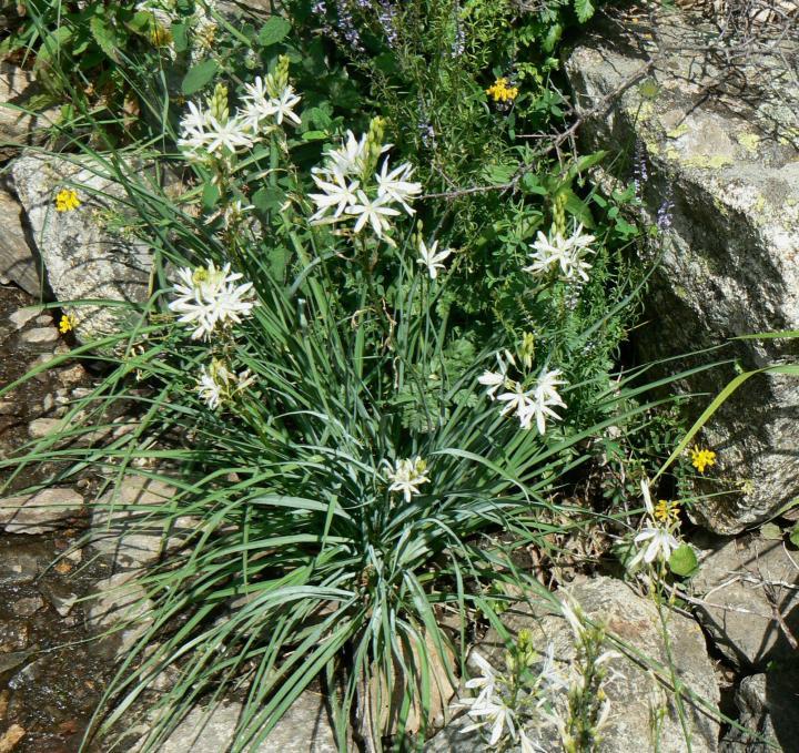 20180205B Anthericum liliago, Meneerke bloem, WC.JPG