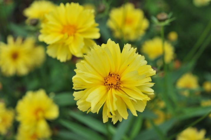 Coreopsis x hybrida Leading Lady 'Charlize' . Source: DummenOrange