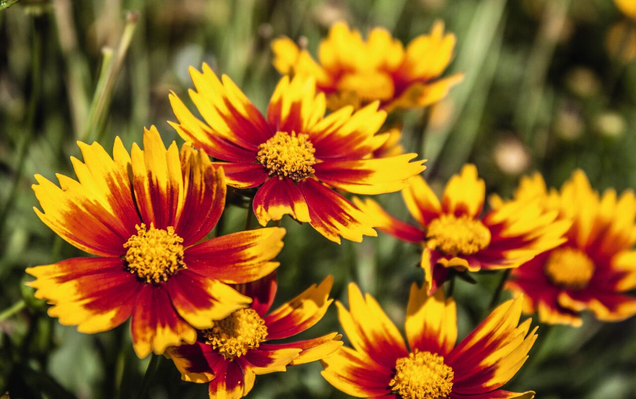 2018 the year of the coreopsis laidback gardener izmirmasajfo Gallery
