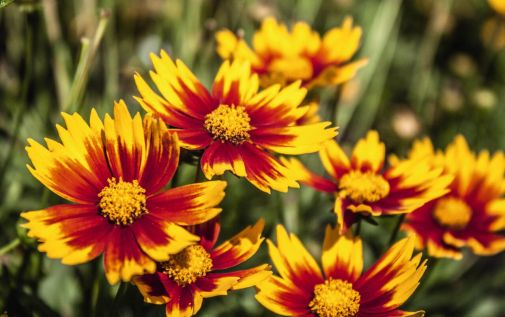 Coreopsis x hybrida Little Bang 'Daybreak'. Source: DummenOrange