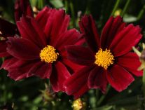 Coreopsis x hybrida Little Bang 'Red Elf'. Source: DummenOrange