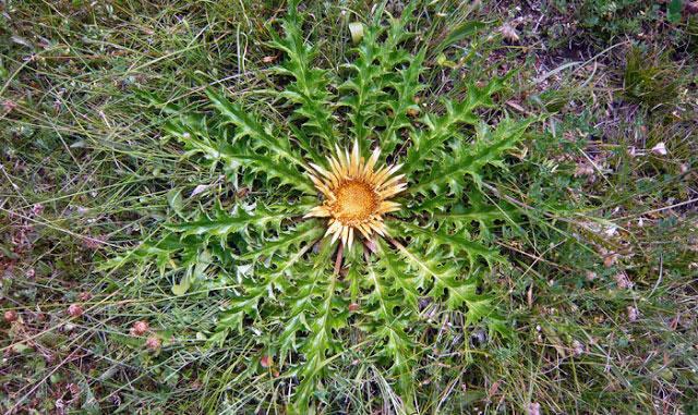 20180206H Carlina acanthifolia, FGZ, www.viajesapie.com