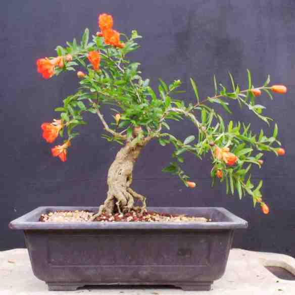 Dwarf Pomegranate As Bonsai Laidback Gardener