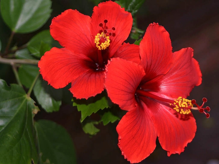 Success With Hibiscus Cuttings Laidback Gardener
