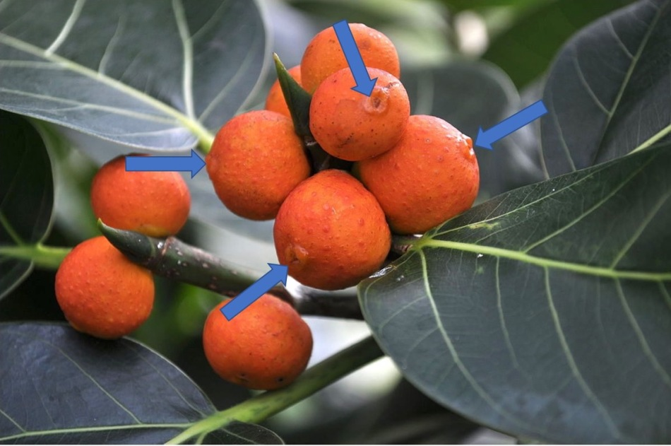 20180422C Ficus benghalensis Joe Mabel, fr.wikipedia.org.jpg