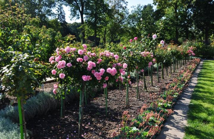 20180423K Roses_trees, Наталия19, WC.JPG