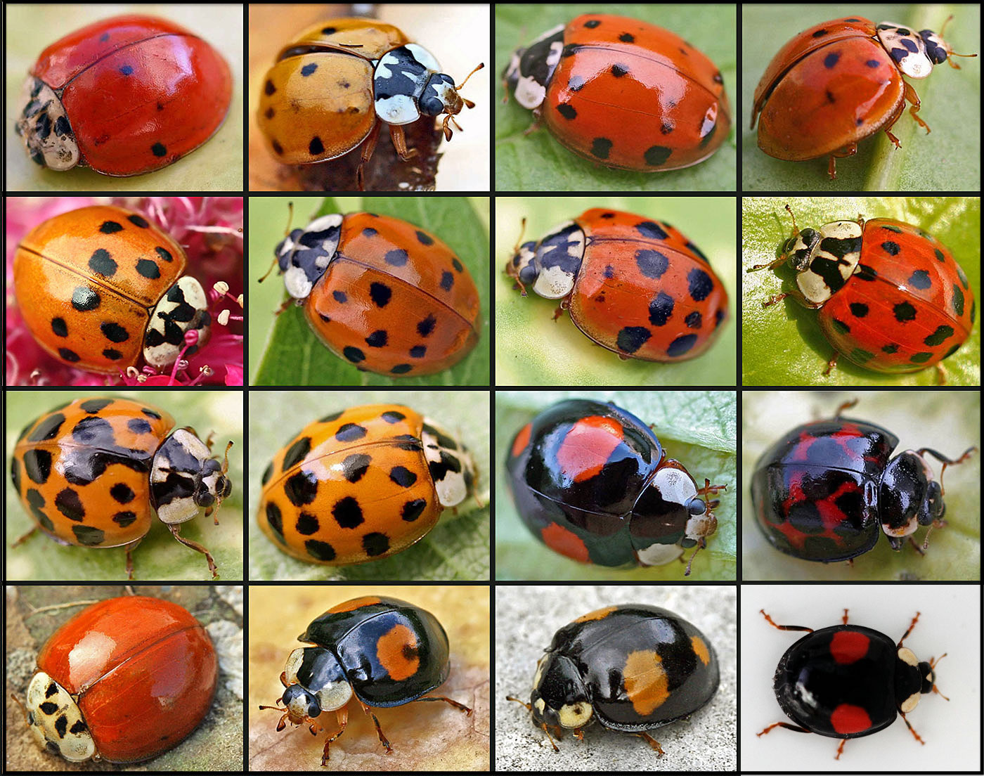 Garden Myth You Can Tell A Ladybug S Age By Its Spots Laidback Gardener