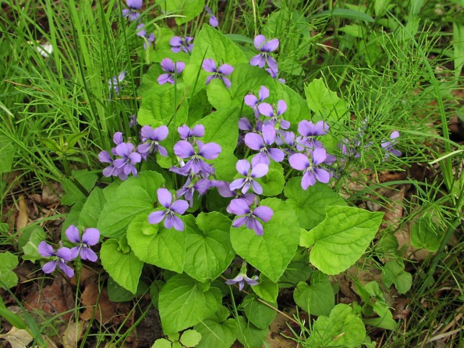 20180701F hmywildflowers.com.jpg