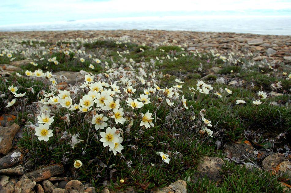 20180701H arcticplants.myspecies.info.JPG