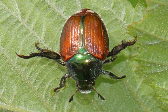 The Fly That Controls Japanese Beetles | Laidback Gardener