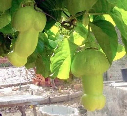 20180725J Passiflora quadrangularis'Erotica' fbinvestigations.blogspot.com.jpg