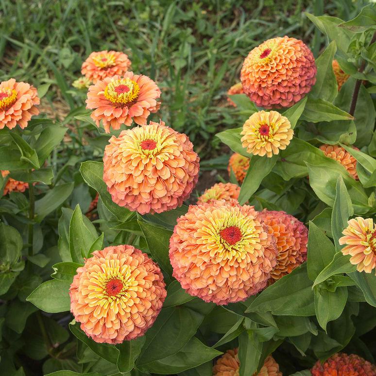 20180830H queen_lime_orange www.johnnyseeds.com.jpg