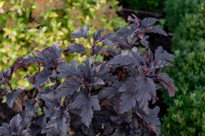 20180830P physocarpus-panther. bloomineasyplants.com.jpg