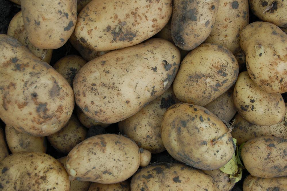curing-potatoes.jpg