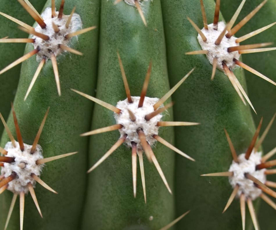 Echinopsis Candicans