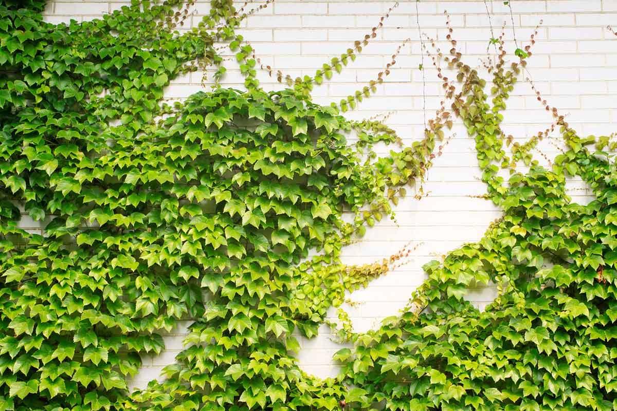 Do Climbing Plants Damage Walls?