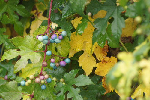 Plants With Fall Berries Laidback Gardener