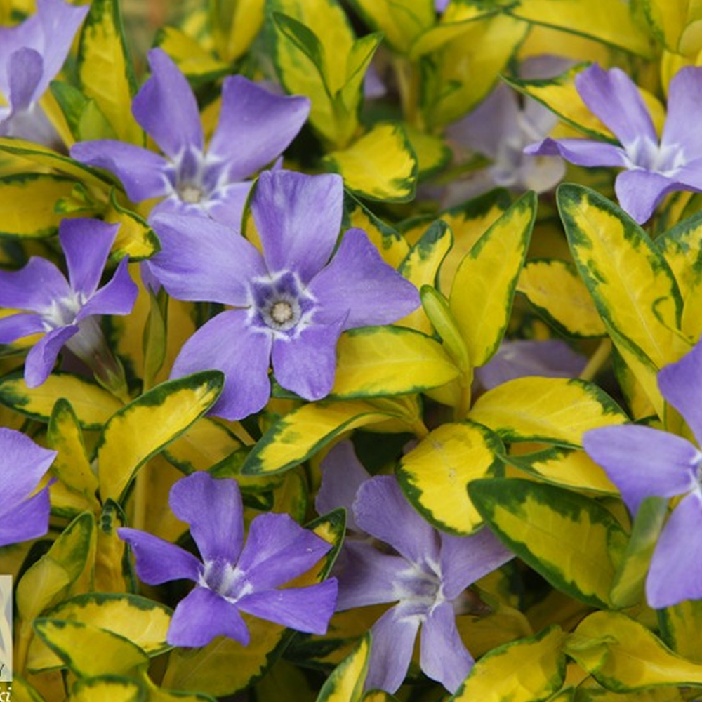 20181021I Vinca minor Illumination www.ebay.co.uk.jpg