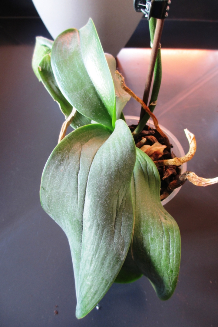 my orchid has limp  wrinkled leaves  u2013 laidback gardener