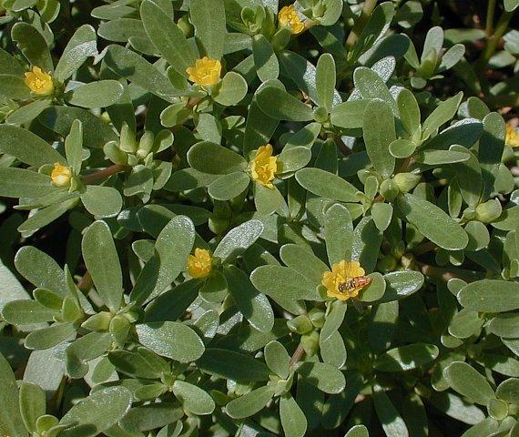 20181205D www.illinoiswildflowers.info.jpg