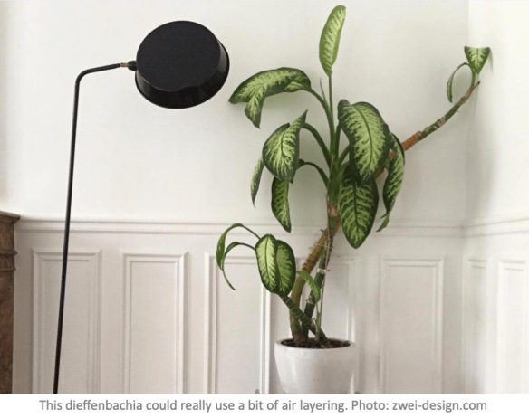 Air Layering Houseplants Laidback Gardener