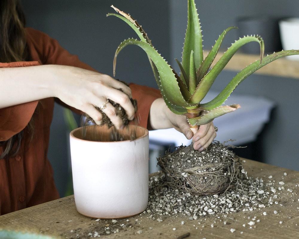 Top Dressing Houseplants   Laidback Gardener