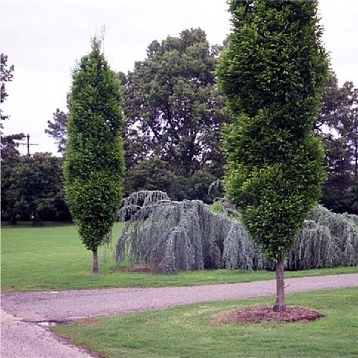 Trees For Small Spaces: Narrow Trees For Small Spaces