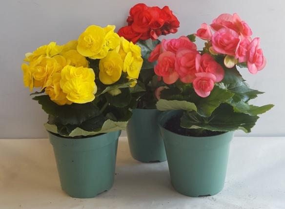 Rieger Begonia Laidback Gardener
