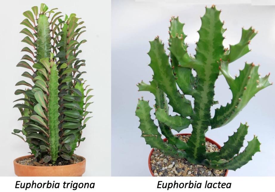 Euphorbia Lactea Laidback Gardener