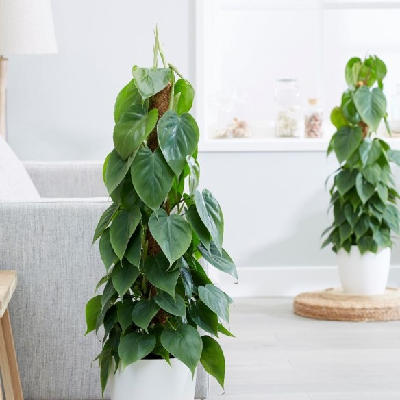 Philodendron Micans Laidback Gardener Philodendron micans have curling leaves that unfurl as they grow into a myriad of colors depending on the amount of natural light they have. philodendron micans laidback gardener