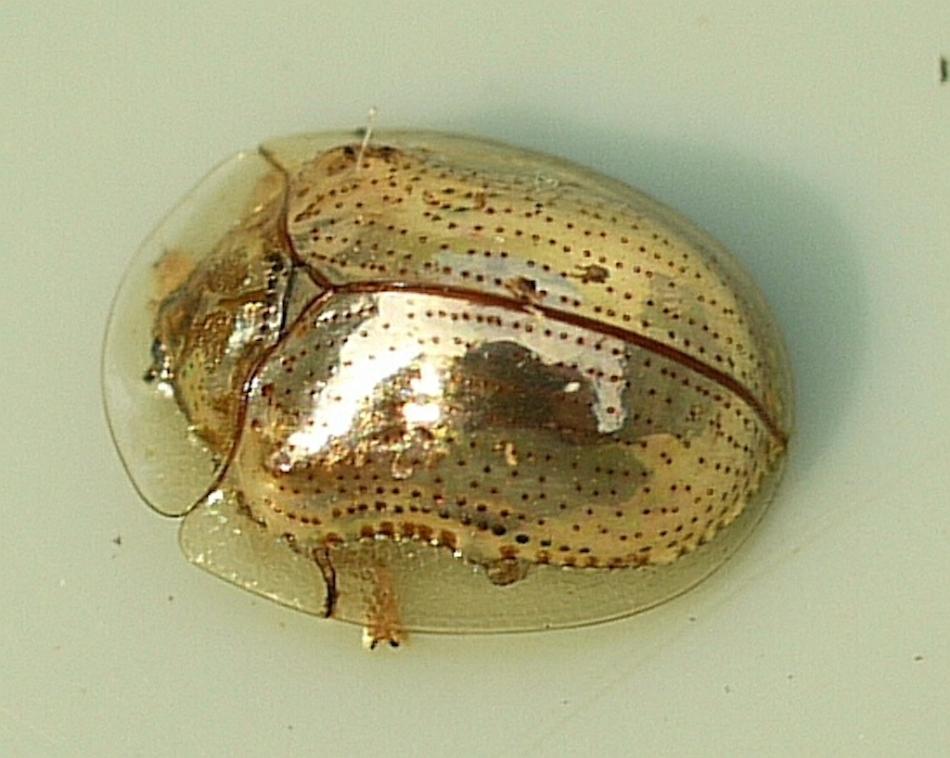 Secret Garden Golden Black Beetle Beetle