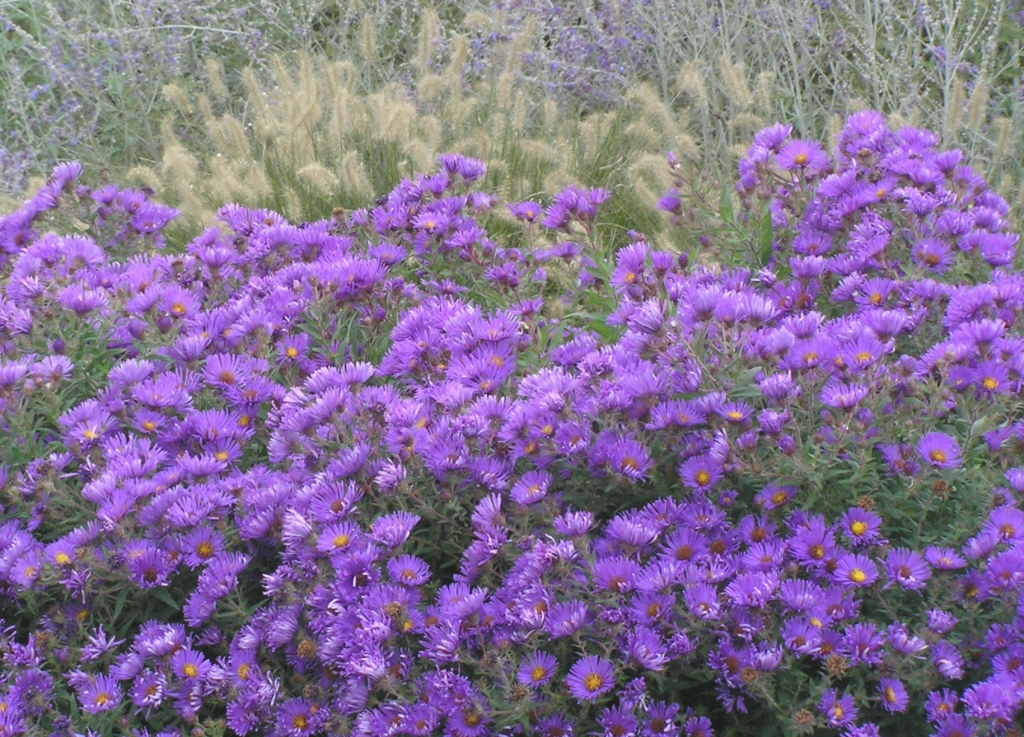Fall perennial aster Symphyotrichum novae-angliae 'Purple Dome'