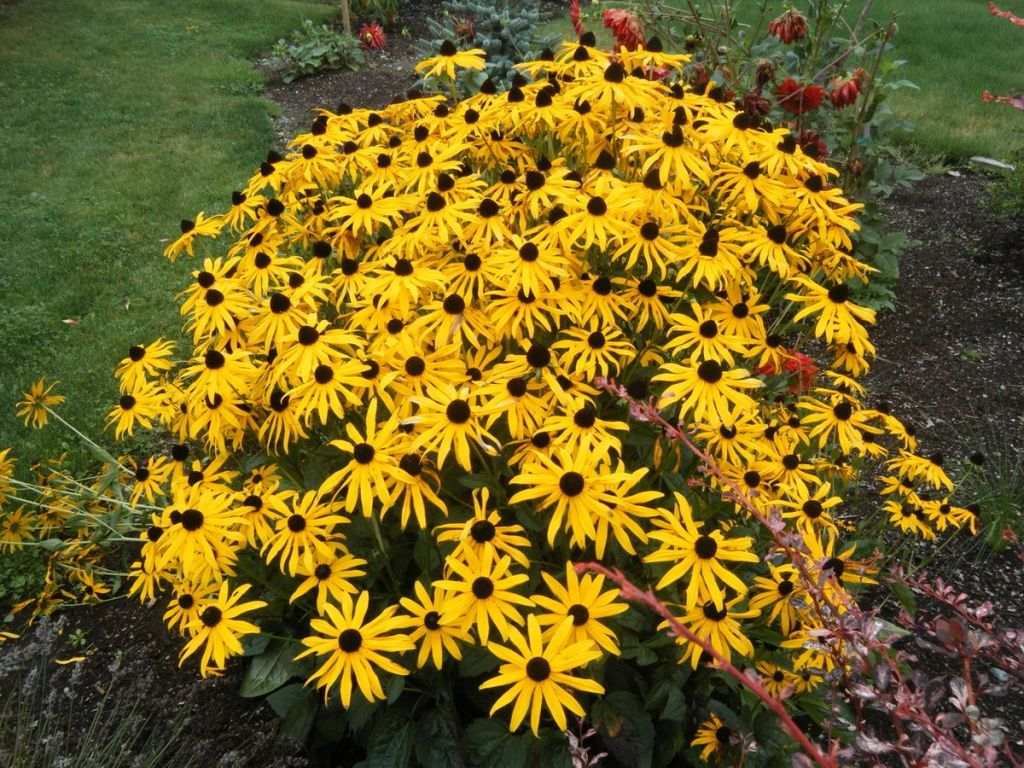Fall perennial Rudbeckia fulgida sullivantii 'Goldsturm'
