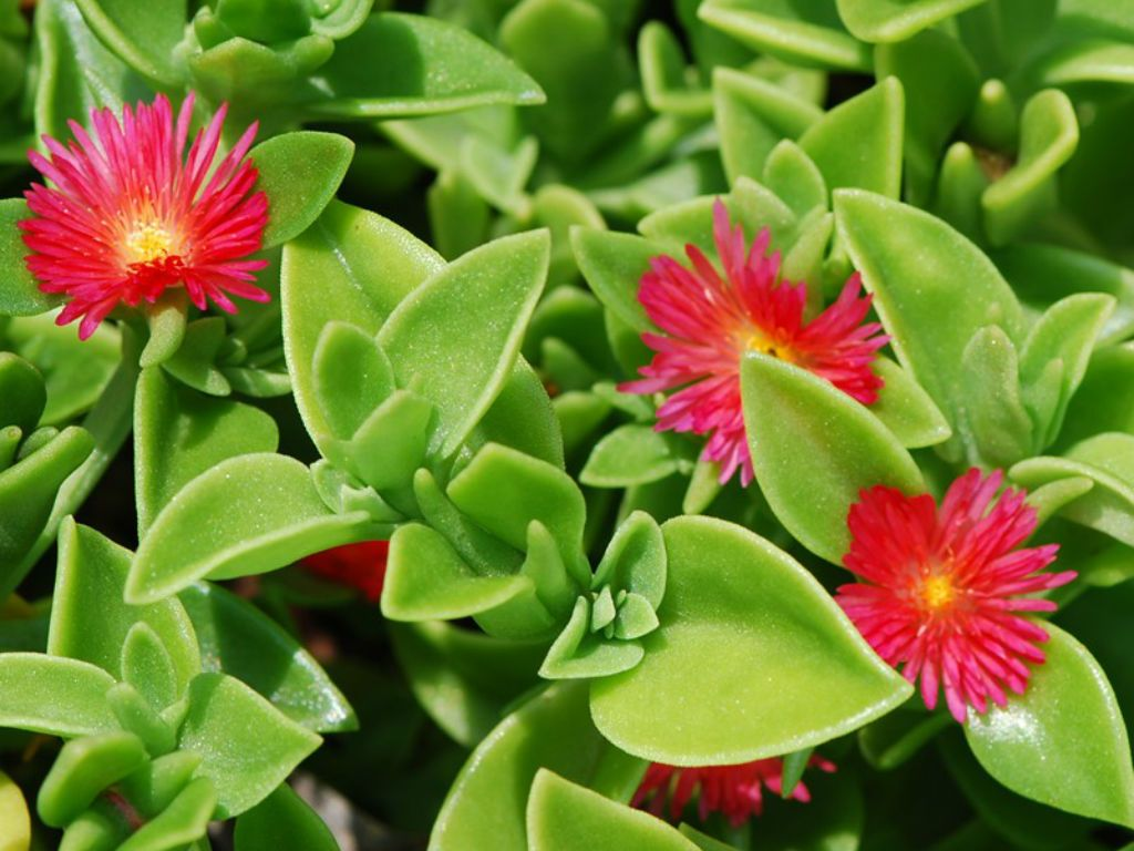 Succulent plant Mesembryanthemum 'Red Apple' with elliptic green leaves and star-shaped red flowers.
