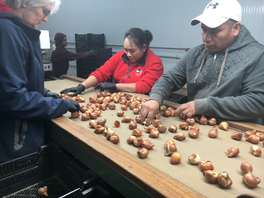 Workers sorting tulip bulbs on a conveyor belt