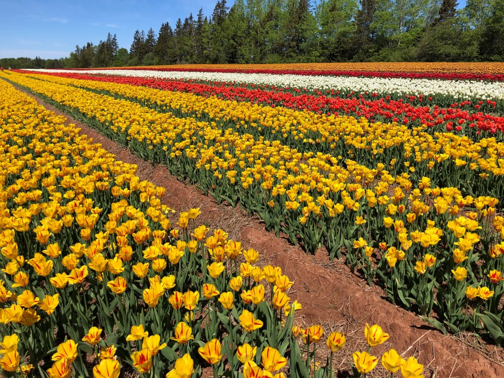 Field of yellow, red and white tulips.