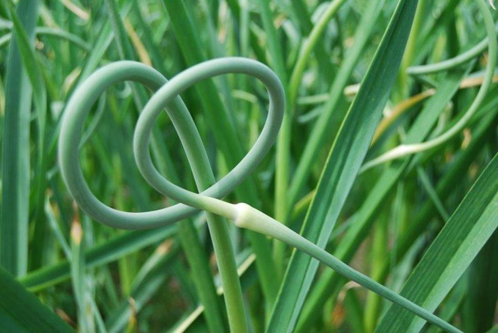Garlic scape showing double twist and young pale flowerhead.