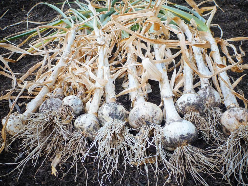 Cluster of freshly harvested garlic bulbs with brown leaves and roots still visible.