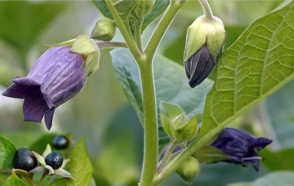 Deadly nightshade (Atropa belladonna), purple bell-shaped flower, black berries.
