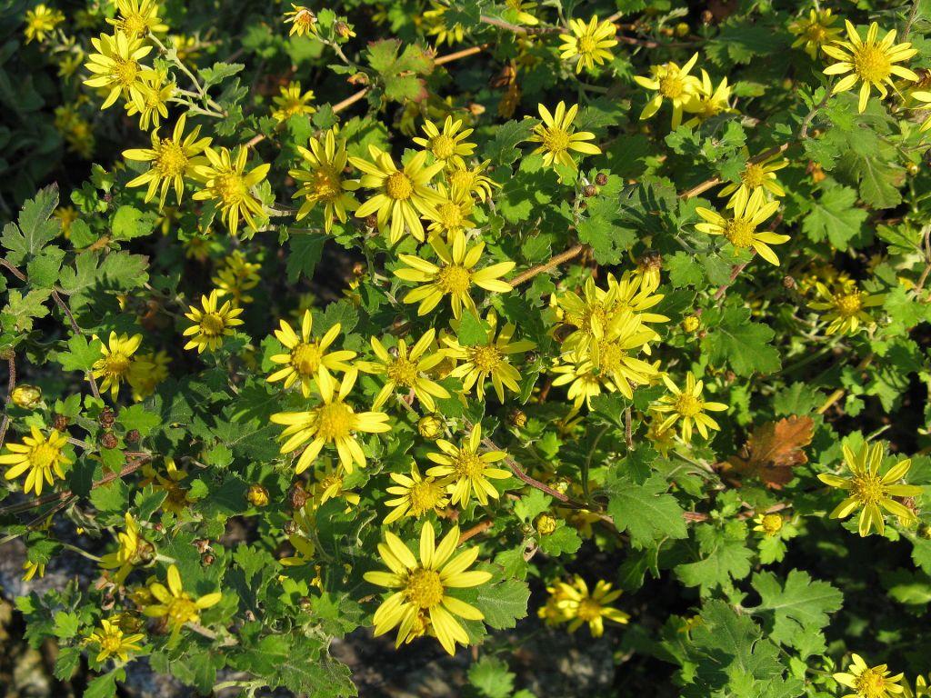 Indian chrysanthemum or golden chrysanthemum (chrysanthemum indicum), yellow daisies, green leaves