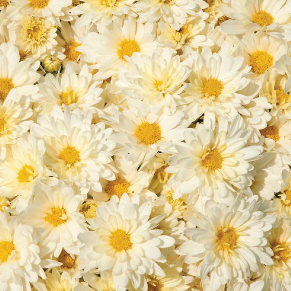 Chrysanthemum Igloo Icicle, semi-double creamy white flowers with yellow center