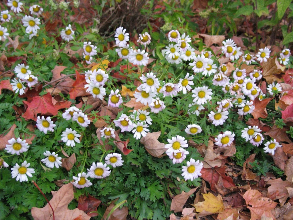 Chrysanthemum weyrichii 'White Bomb', carpeting plant, white daisies with pink tinge, red fall leaves