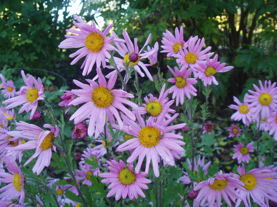 Arctanthemum arcticum 'Red Chimo', pink daisies with yellow center