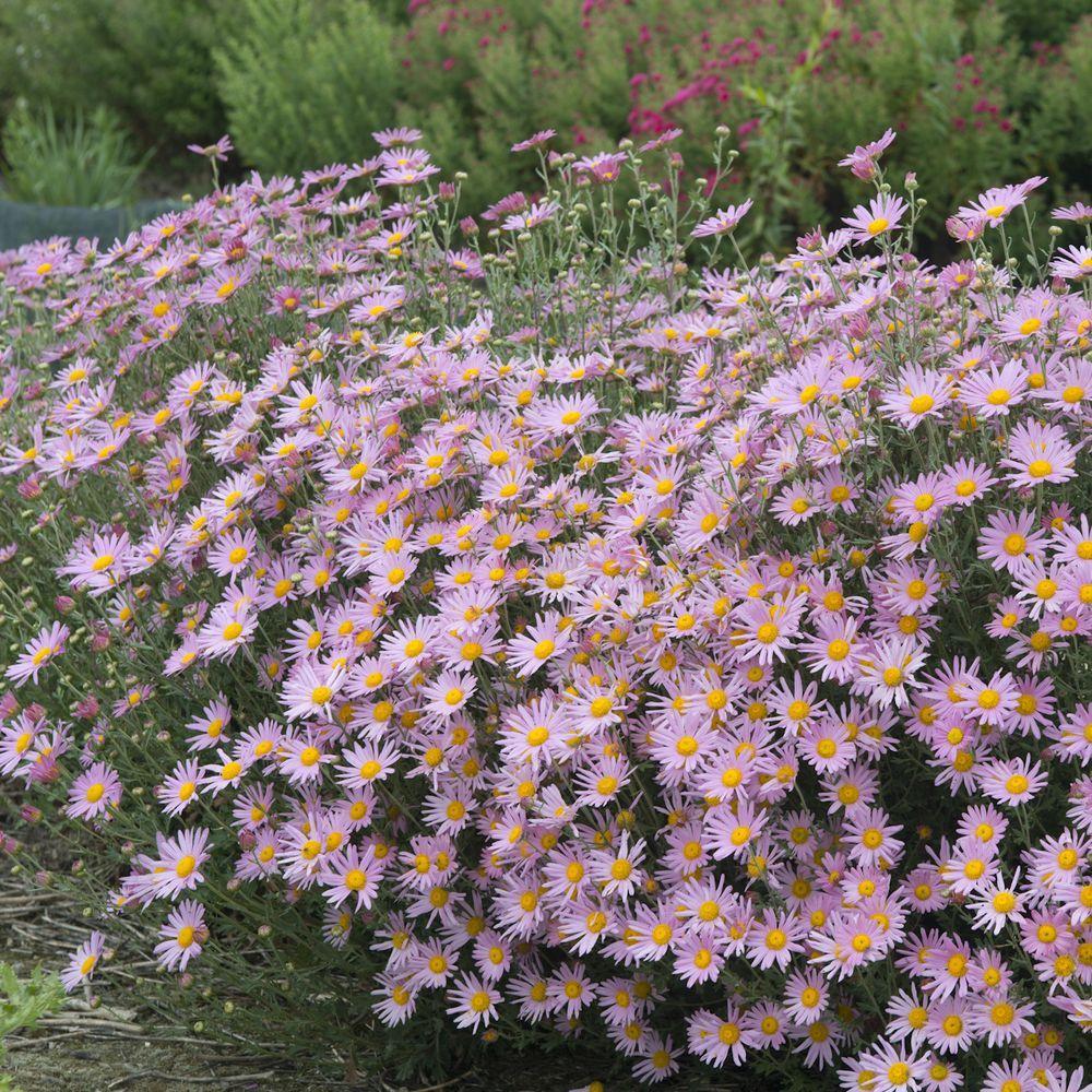 Chrysanthemum × rubellum 'Clara Curtis', pale pink daisies with yellow center