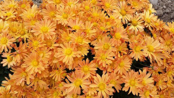 Chrysanthemum × rubellum 'Mary Stoker', apricot yellow daisies with yellow center