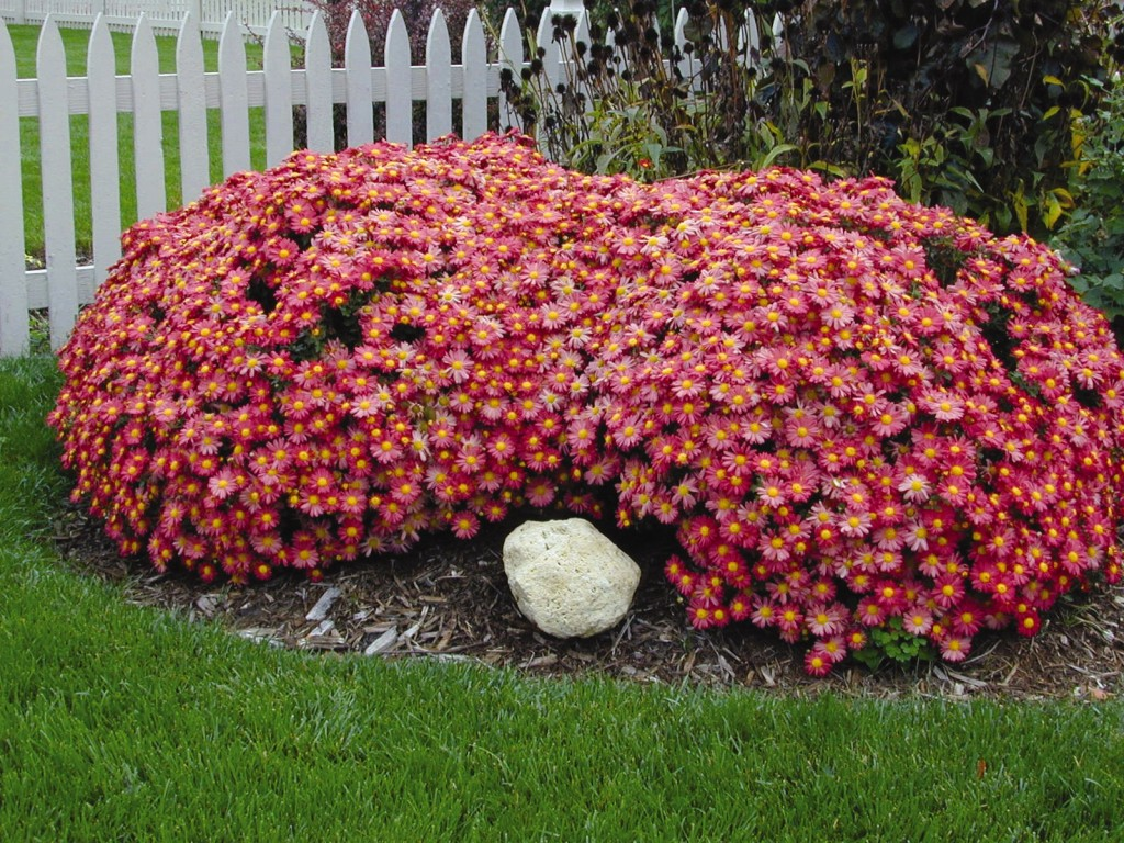 Double mound of coral pink daisies, green lawn in front, white picket fence