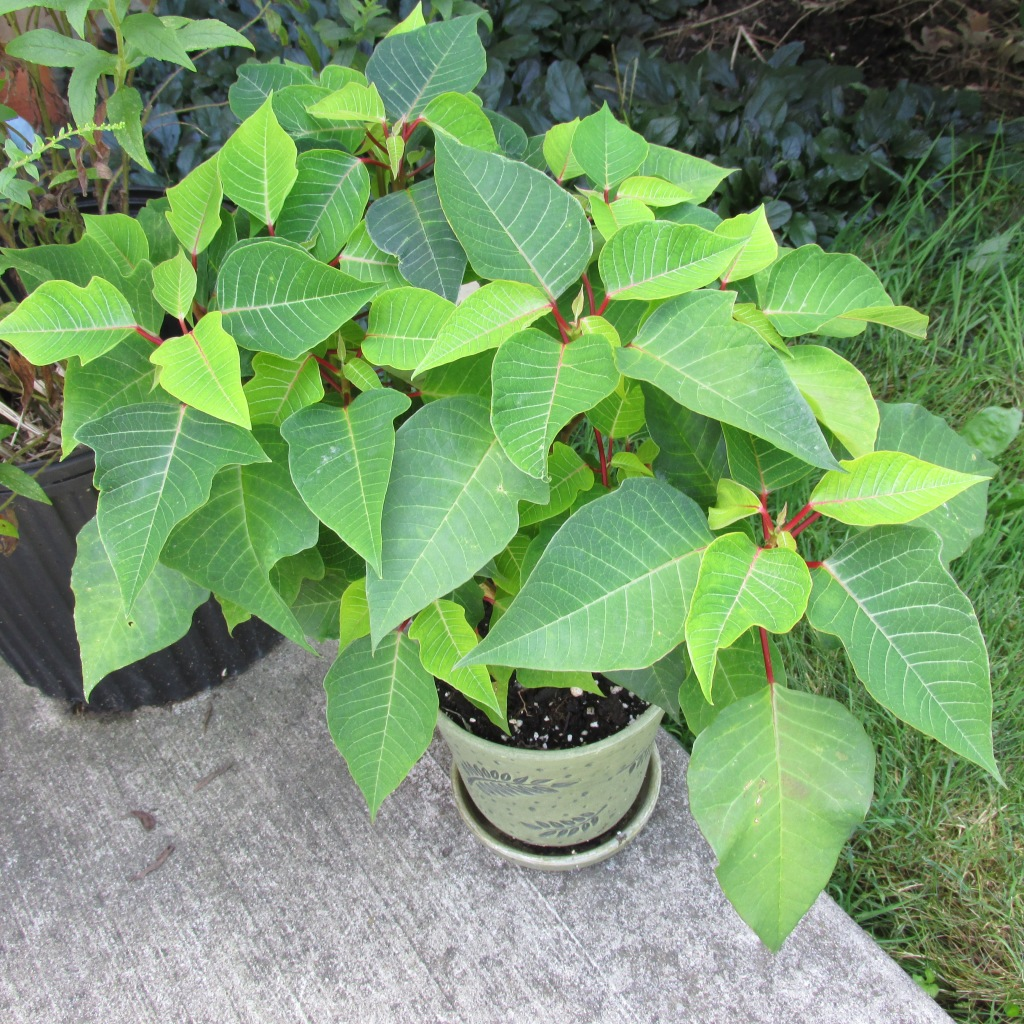 Poinsettia plant showing green leaves and red petioles, but no flower.